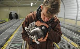 L'association L214, qui combat la souffrance animale, a dénoncé les mauvais traitements imposés au lapins dans plusieurs élevages et abattoirs. Un projet de loi prévoit d'étendre le délit de maltraitance animale aux abattoirs.
