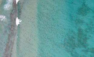 Quelque 10.000 requins à pointe noire ont été aperçus, en février 2015, à une centaine de mètres d'une plage de Palm Beach, en Floride (Etats-Unis).