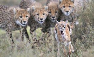 Des  guépards guettant une gazelle de Thomson, en Tanzanie, un cliché du photographe animalier Grégoire Bouguereau.