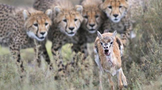 Des  guépards guettant une gazelle de Thomson, en Tanzanie, un cliché du photographe animalier Grégoire Bouguereau. – Grégoire Bouguereau