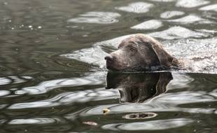 Un chien dans l'eau (illustration).