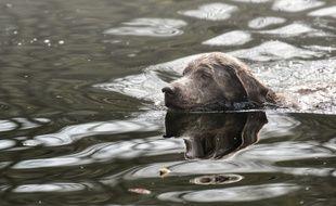 Un chien dans l'eau (illustration)