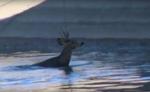 Des cowboys ont réussi à sauver un chevreuil piégé dans un canal grâce à leur lasso.