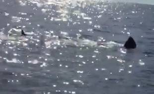 Le requin observé le 26 mars mesure 7 m.