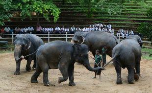 Des éléphants lors de leurs exercices quotidiens au zoo de Dehiwala, près de Colombo, le 18 juin 2016.