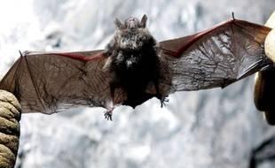 """Une chauve-souris morte du syndrome du """"nez blanc"""" dans l'Etat de New York, aux Etats-Unis."""