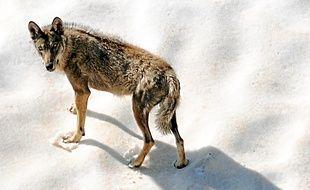 Un loup dans le parc national du Mercantour