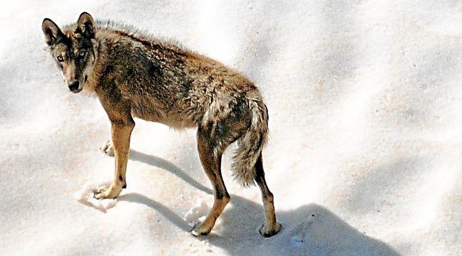 Encore trop méconnus, les loups placés sous surveillance dans le Mercantour