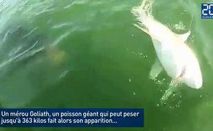Ce requin se fait dévorer par un mérou Goliath.