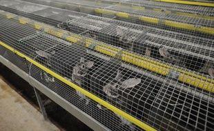 Des lapins orylag, élevés pour leurs fourrures, dans leurs cages dans un élevage industriel français en décembre 2017.