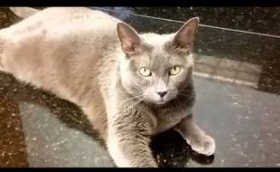 Capture d'écran Hawaii News Now du chat Mee Moowe de la famille Barth, qui a déménagé à Hawaï.