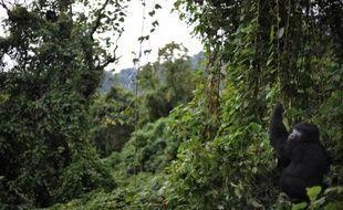 Un gorille, dans le parc national des Virunga, plus ancien parc de la République démocratique du Congo (RDC), le 28 novembre 2008