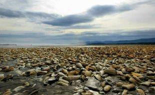 Des dizaines de milliers de machas, coquillage typique du Chili, morts près de l'île de Chiloé, dans la région de Los Lagos, le 1er mai 2016