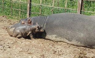 Le bébé hippo dont le sexe n'a pas été encore déterminé, est né dans la nuit du 12 au 13 avril au PAL, parc animalier de l'Allier.
