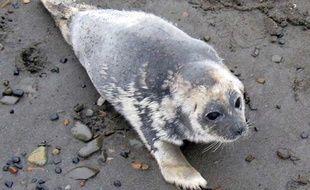 Un phoque annelé malade qui perd ses poils, en septembre 2011 en Alaska.