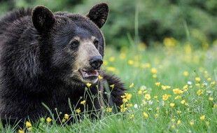 Un ours baribal du parc Planète Sauvage