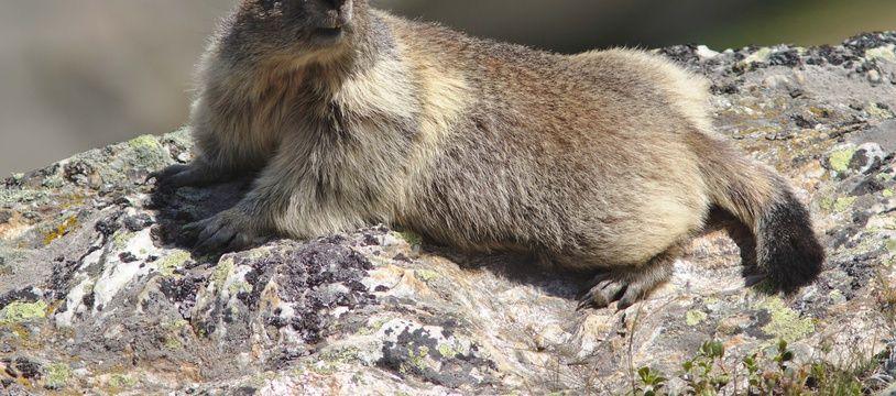 La marmotte fait partie des animaux susceptibles de transmettre la peste à l'homme.