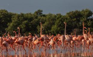 Après les flamants roses de Plaisance, des colonies seront équipées au Mexique.