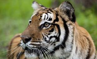 Un tigre sibérien.