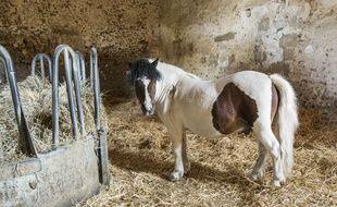 Un poney, mais non émasculé. (illustration)