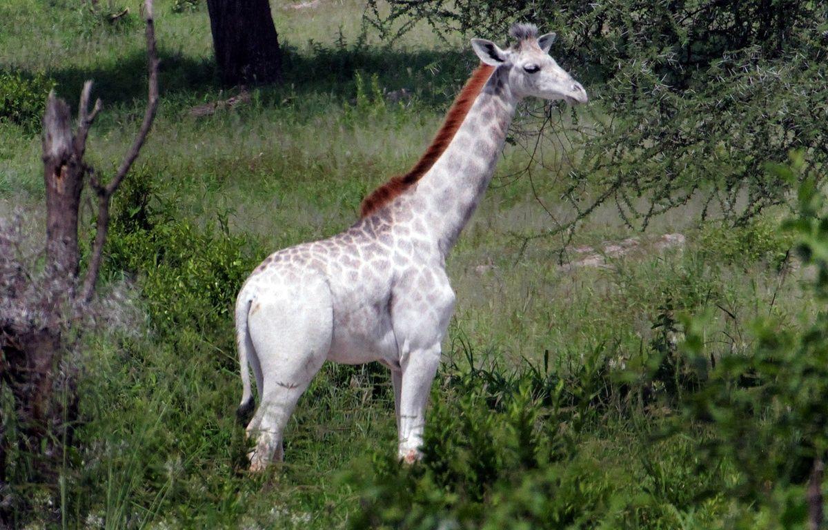 Omo a été immortalisé par le scientifique Derek Lee en Tanzanie. – DEREK LEE/ CATERS NEWS