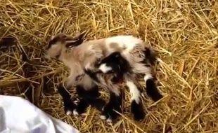 Une chèvre a huit pattes est née dans une ferme croate en mai 2014
