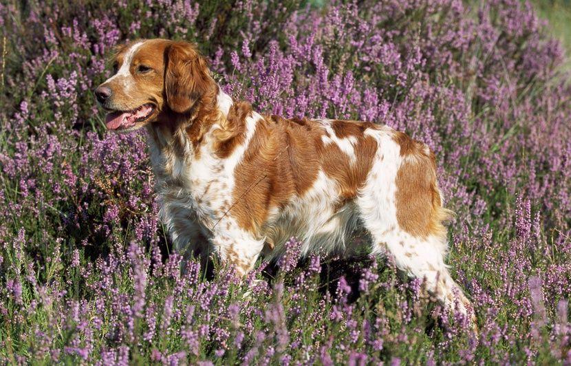 hérault: quatre chiens d'attaque tuent et dévorent un épagneul breton