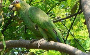 Un perroquet Amazona amazonica.