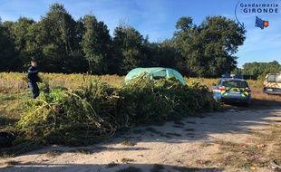 La gendarmerie a découvert 132 pieds de cannabis en bordure de l'A62 en Gironde.