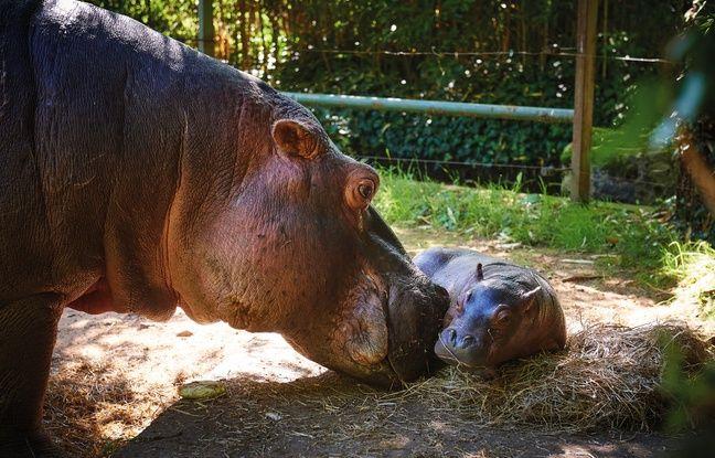 Un hippopotame est né au zoo de la Flèche