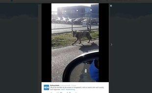 Le loup qui se balade aux Pays-Bas depuis le 7 mars 2015, a été photographié par un internaute.