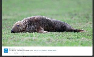 Le phoque a été retrouvé dans un champ à plus de 30 kilomètres de la mer, en Angleterre.