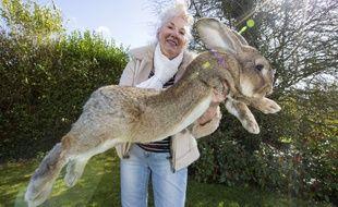 Darius, le plus grand lapin du monde selon le Guinness des records, vit en Angleterre.