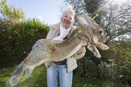 Le plus grand lapin du monde volé au Royaume-Uni
