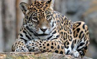 Un jaguar dans un zoo en République tchèque.