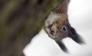 Image Écureuil chicago: un «écureuil kamikaze» provoque la chute d'un élu anti-rongeurs