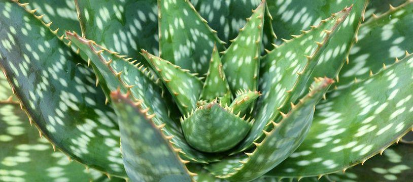 Des feuilles d'aloe vera (illustration)