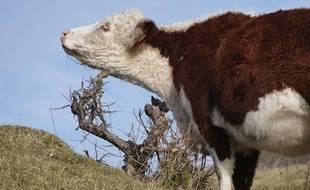 Une vache. (Illustration)