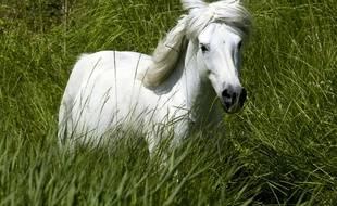 Illustration d'un cheval blanc, en Camargue.