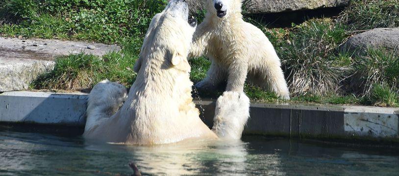 Ours polaires au parc zoologique et botanique de Mulhouse