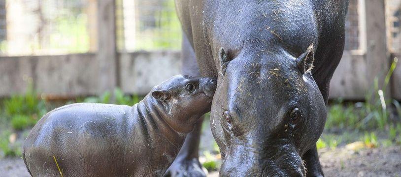 Illustration d'un bébé hippopotame pygmée dans un zoo de Suède en 2014.
