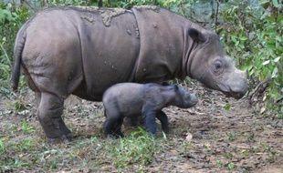 Un rhinocéros de Sumatra et son bébé à Lampung le 25 juin 2012