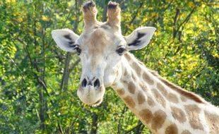 La girafe Onduri, femelle gestante de 19 ans, est morte brutalement au zoo African Safari de Plaisance-du-Touch.