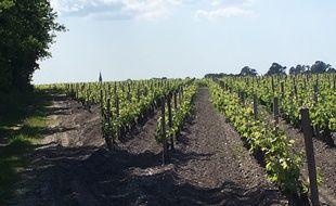 Vignes à Arsac, dans le Médoc (Gironde)