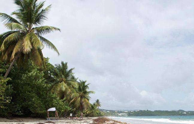 Des algues sargasses en Martinique.