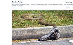 Capture d'écran d'une photo publiée sur la page Facebook du conseil des anciens élèves de l'Université technologique de Nanyang, de la bagarre entre un cobra royal et un python réticulé, le 27 août 2015, à Singapour.