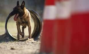 Un chien policier (illustration)