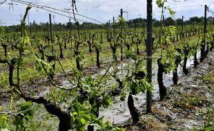 Un vignoble près de Macau dans le Médoc qui a été durement touché par l'épisode de grêle.