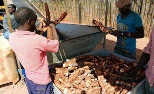 Des ouvriers employés par le groupe SABMiller dans le nord du Mozambique trient, le 6 juin 2015 le manioc, tubercule qui sera utilisée pour fabriquer de la bière