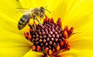 Ces dernières années, la production de miel s'est effondrée en France, du fait d'une mortalité accrue des abeilles